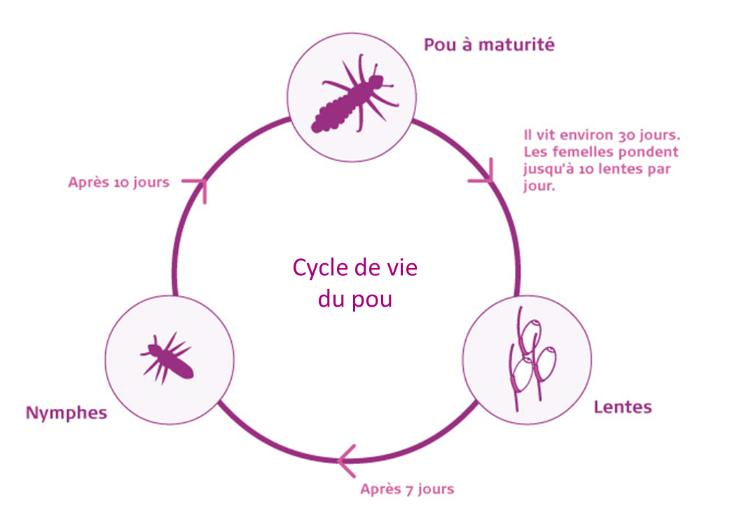 louselifecycle